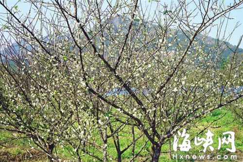 永泰葛岭果园李树开花 朵朵白花如雪片点缀枝头