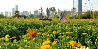 花海公园百日草提前开放 - 福州新闻网