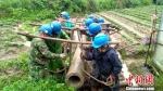 6月9日中午1时,洪水退后,清流供电公司员工在清流县嵩溪镇人工搬运电杆,避免了菜地被破坏,保护了村民财产。 郑扬飞 摄 - 福建新闻