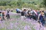 翔安香山郊野公园紫色马鞭草绽放 浪漫气息迎面扑来 - 新浪
