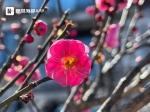 """福州市区梅花即将绽放 1月下旬迎来""""梅好""""时节 - 新浪"""